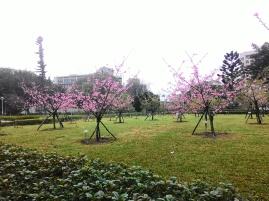Landscape of sakura trees