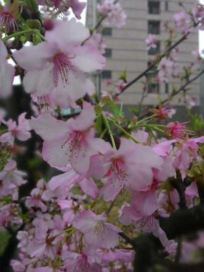 Sakura NCU