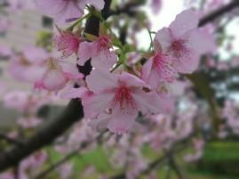 Sakura ku